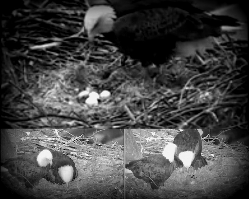 pittsburgh bald eaglet 03.28.14