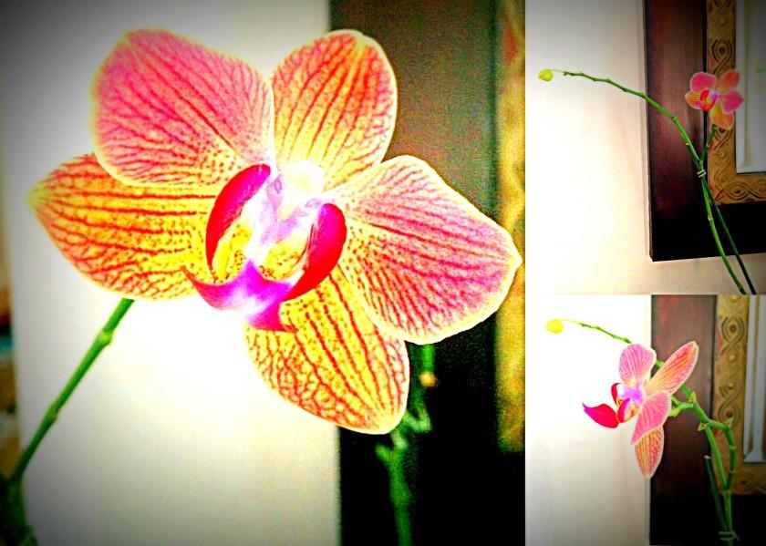 reblooming orchid5