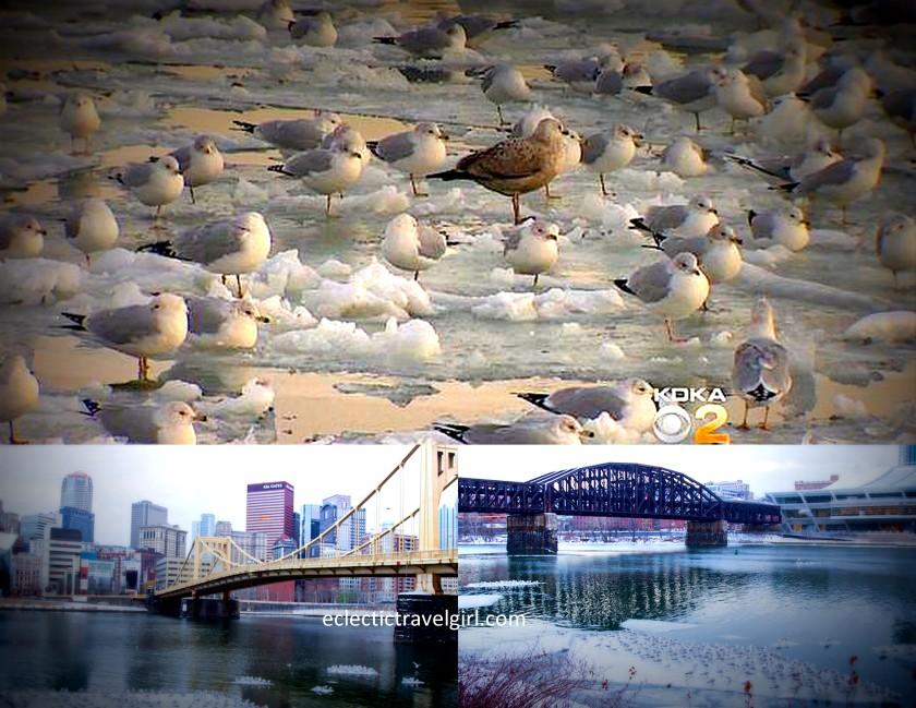 pittsburgh seagull invasion