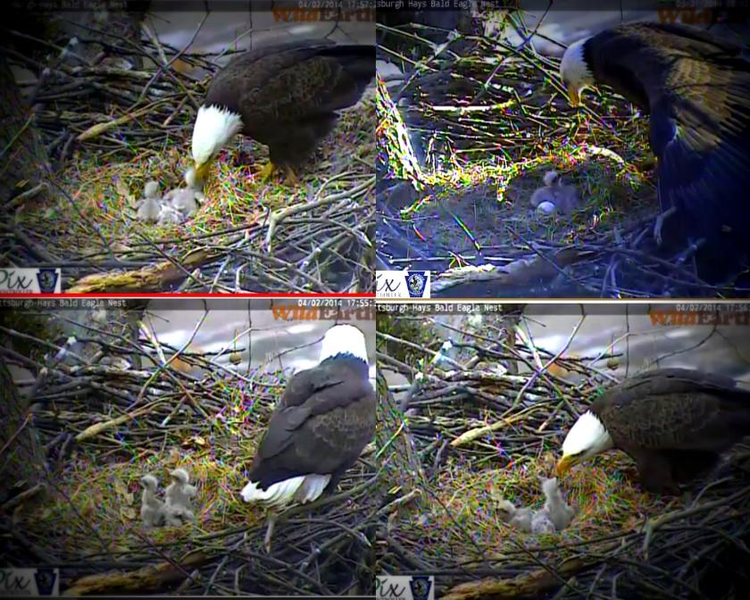 pittsburgh three bald eaglets1