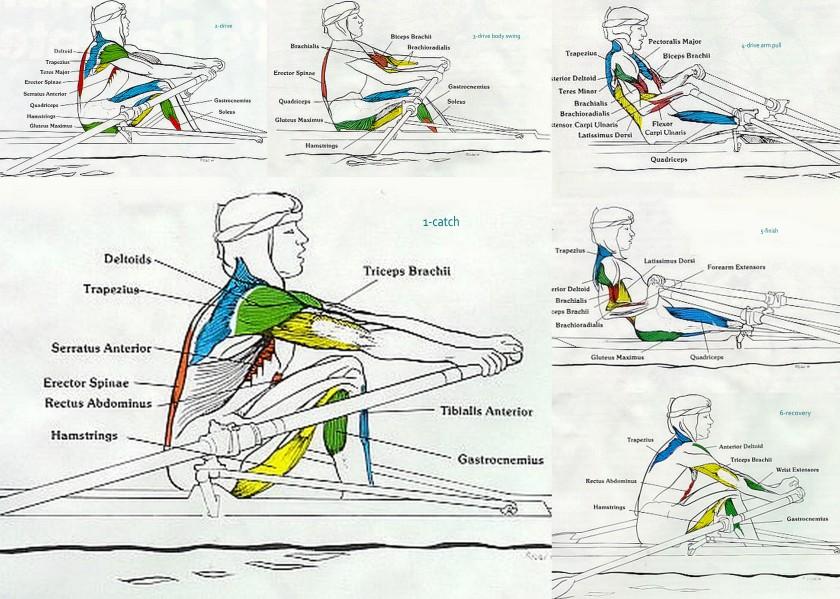 muscles in rowing stroke